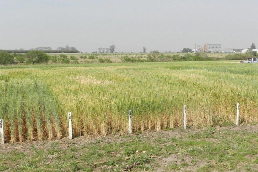 Nueva frontera: el trigo pide pista en Corrientes para llegar directo a Brasil