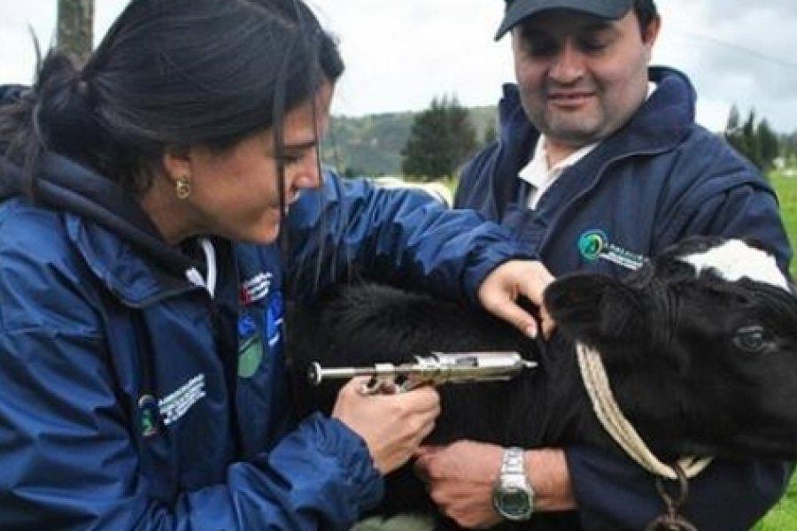 Corrientes: se lleva adelante la campaña de vacunación contra la fiebre aftosa con un costo de $71 por animal vacunado