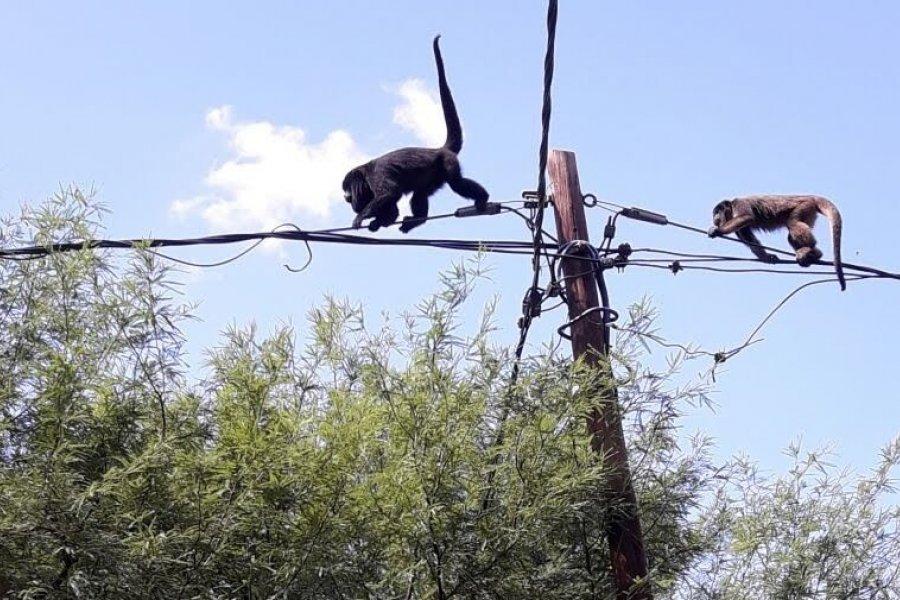 Corrientes: vecinos intentaron rescatar a un mono Cayará herido