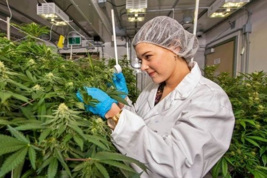 Proponen un organismo estatal de producción e investigación de Cannabis Medicinal en Corrientes