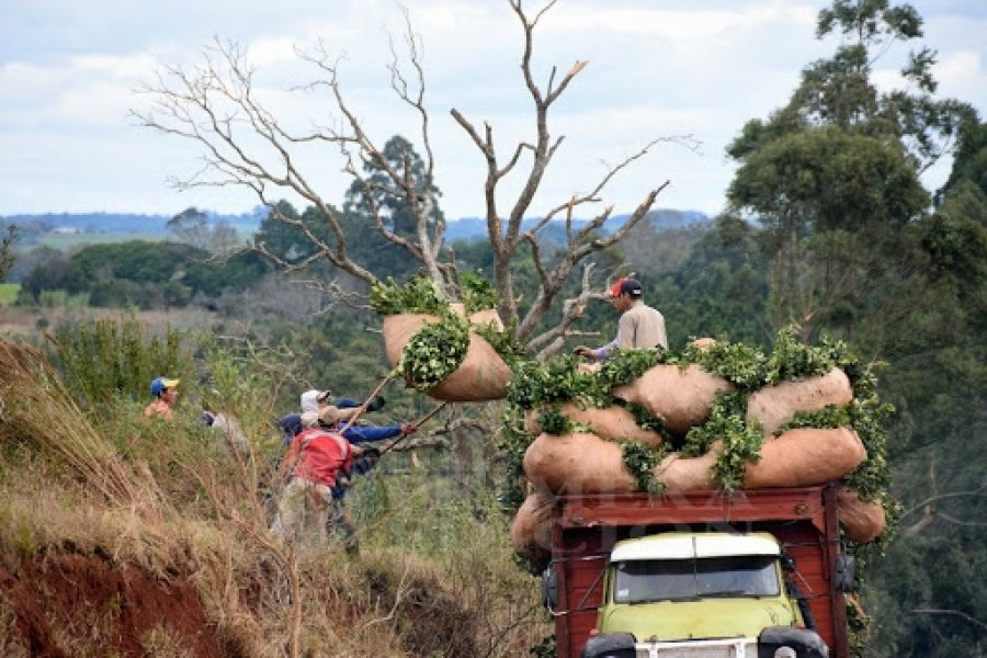 Detectan trabajo informal y adolescente en cosecha de la yerba mate en Corrientes