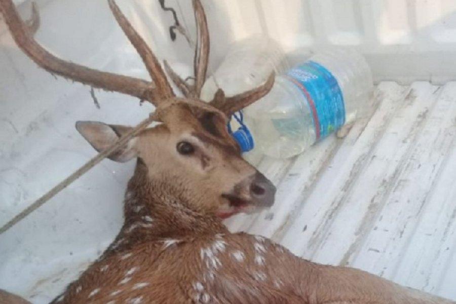 Rescataron a un ciervo en Paso de la Patria