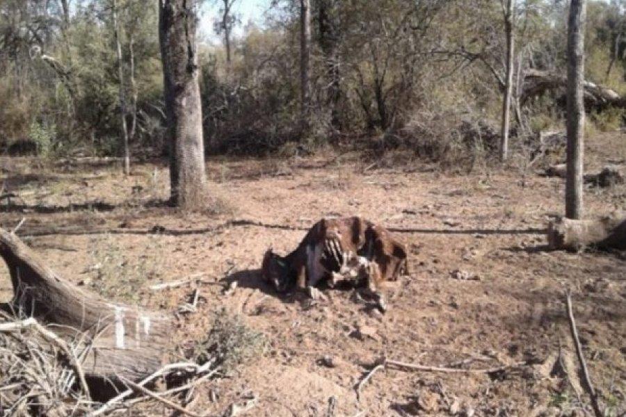 Sequía extrema en El Impenetrable: desesperado pedido de auxilio de chaqueños