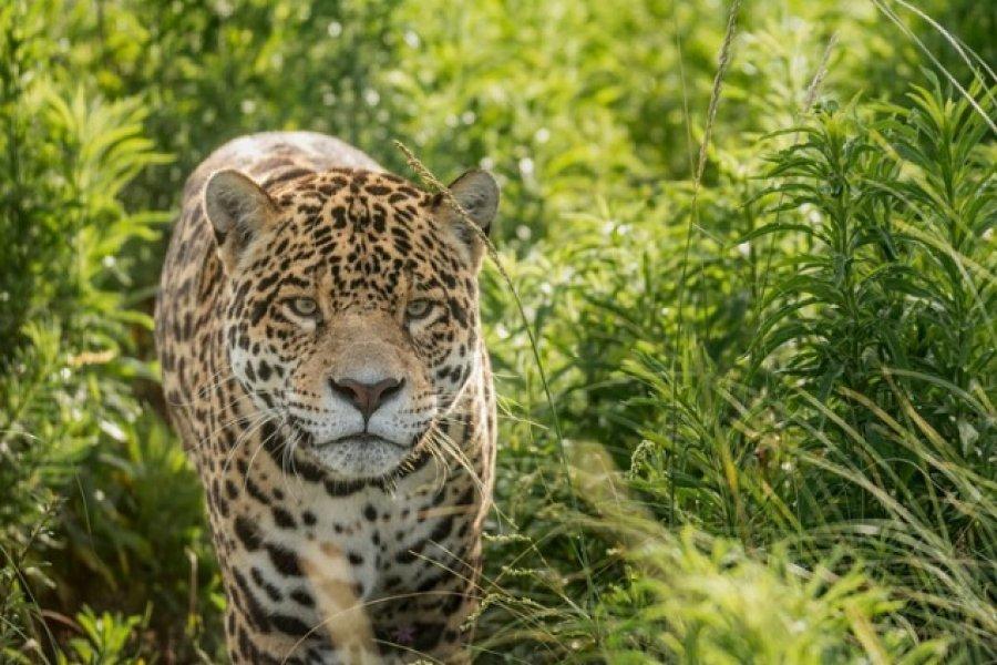 Buscan una hembra para el yaguareté chaqueño Qaramta, uno de los últimos de su especie en la zona