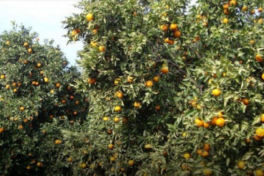 Gracias a un Senador de Misiones se prorrogó la emergencia citrícola en Corrientes