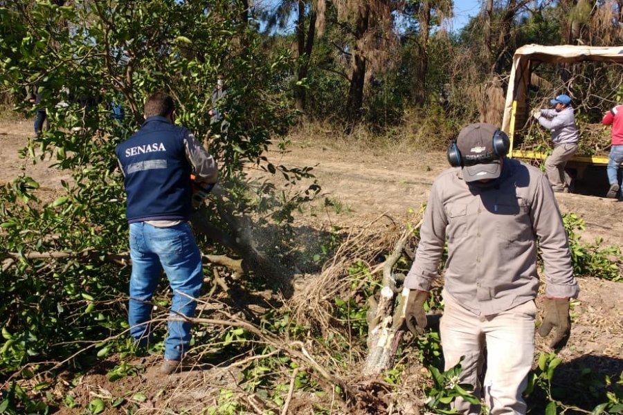 Nuevas detecciones de HLB en campos en Corrientes