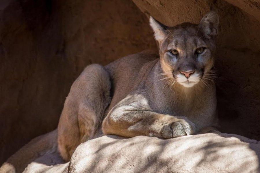 El puma: Otro animal emblemático para el Chaco