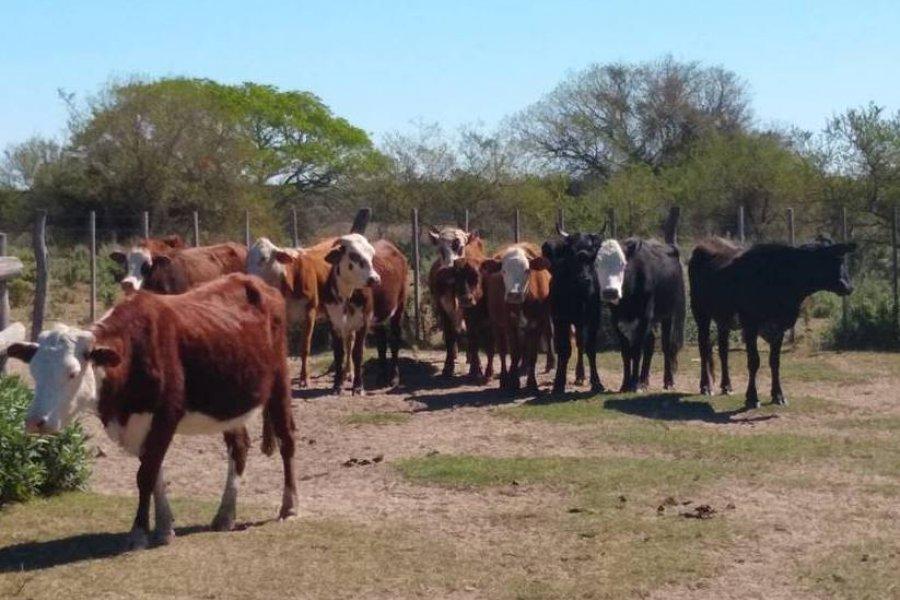 Recuperaron 31 vacas robadas y detuvieron a dos personas
