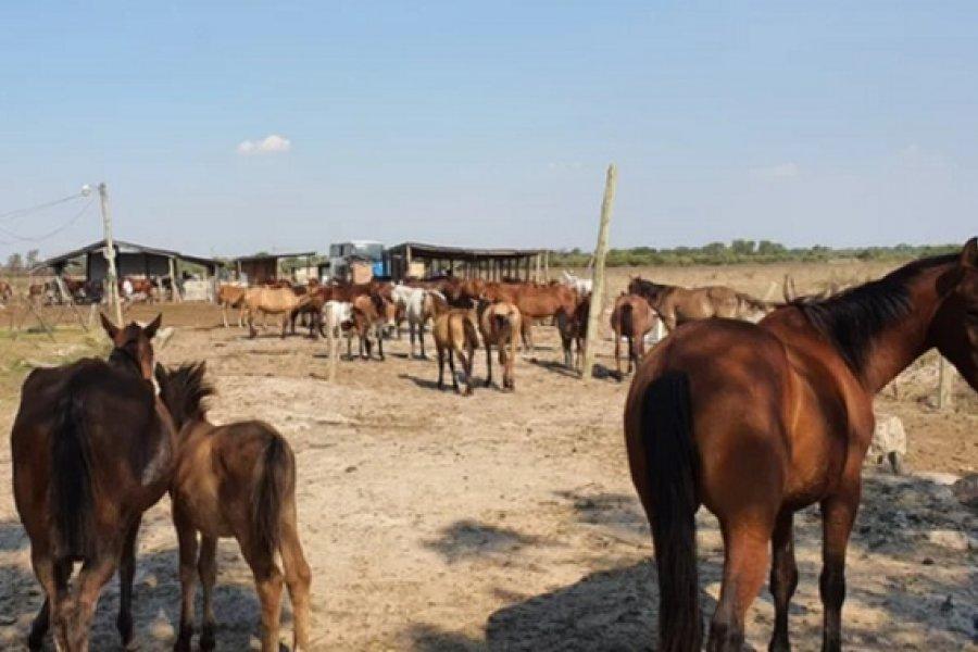 Piden ayuda económica para alimentar a 300 caballos