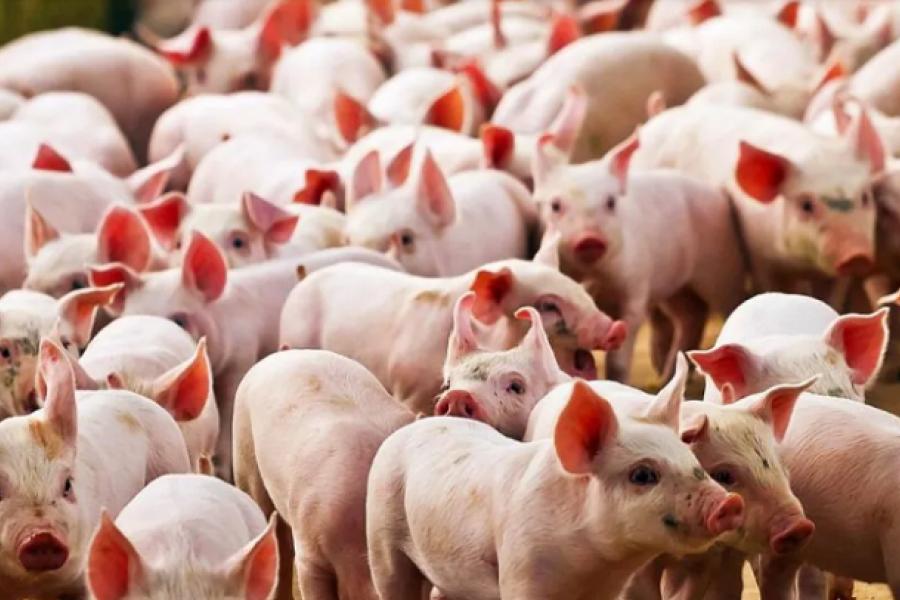 Argentina frenó la importación de carne de cerdo de Alemania por un foco de peste porcina africana