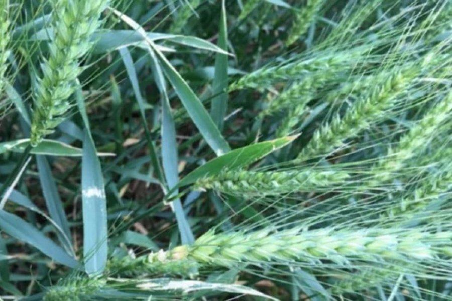 Corrientes exportará trigo