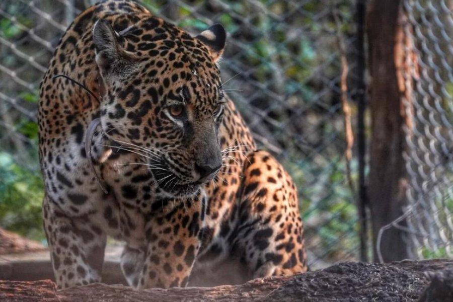 Cruzarán a un Yaguareté macho silvestre con una hembra en cautiverio para salvar la especie