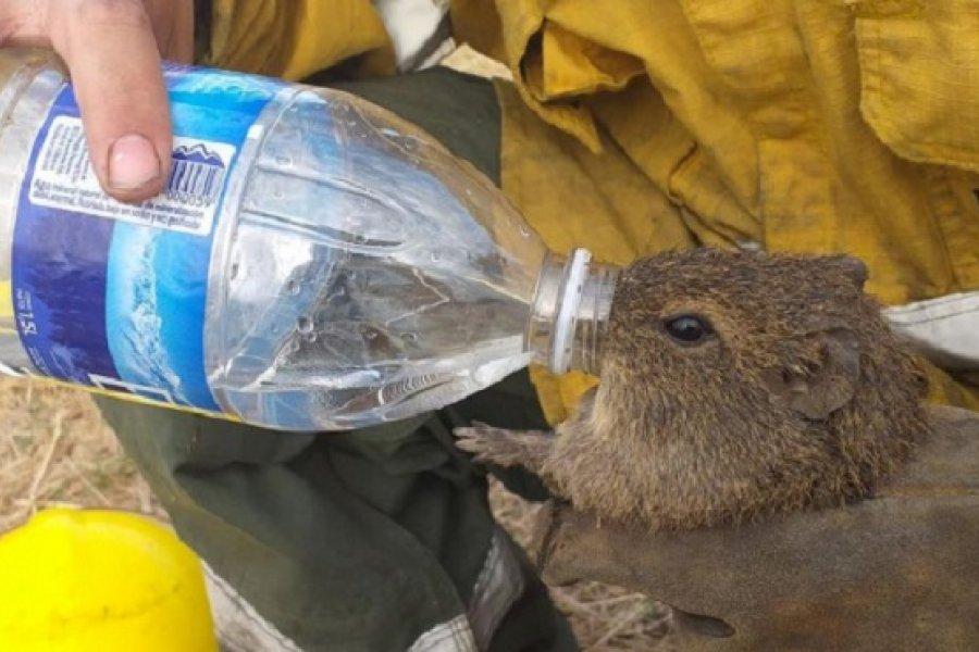 Chaco: En pleno incendio, bomberos socorrieron a animales silvestres que huían del fuego