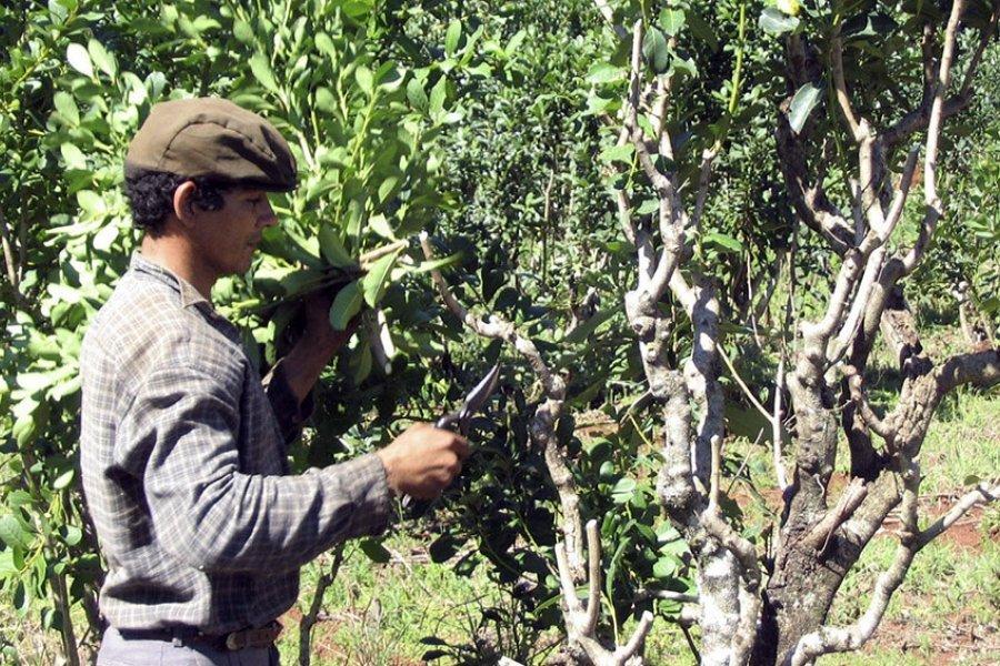 Rige hasta fines de noviembre la prohibición de cosecha de yerba mate