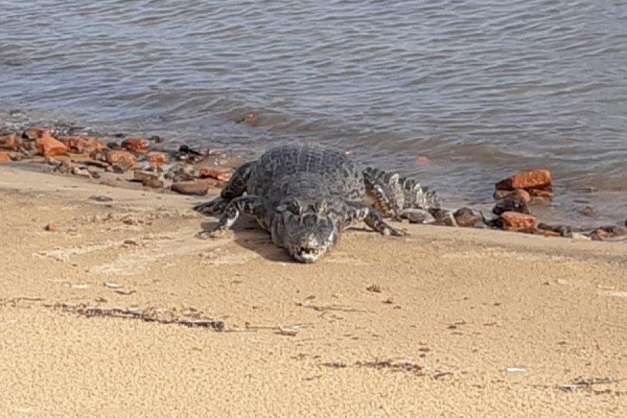 Corrientes: Avistaron a otro yacaré tomando sol en costanera