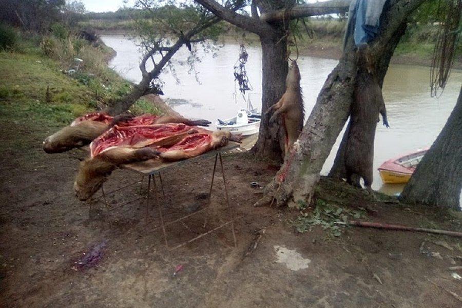 Encontraron a cazadores furtivos con gran cantidad de carpinchos faenados