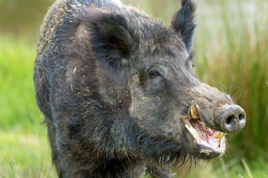 Una ley habilita a reducir la población de Chanchos salvajes en Corrientes