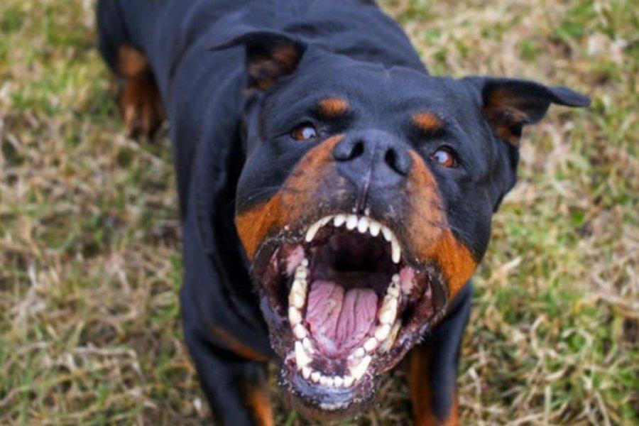 Un perro rottweiler mató a un bebé recién nacido e intento enterrarlo
