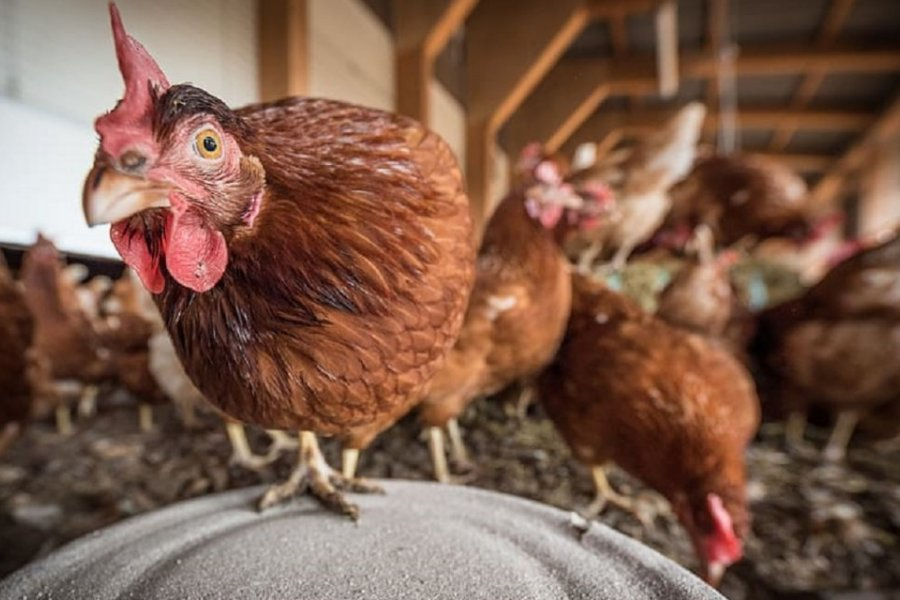 Países Bajos sacrificará 215.000 gallinas por gripe aviaria