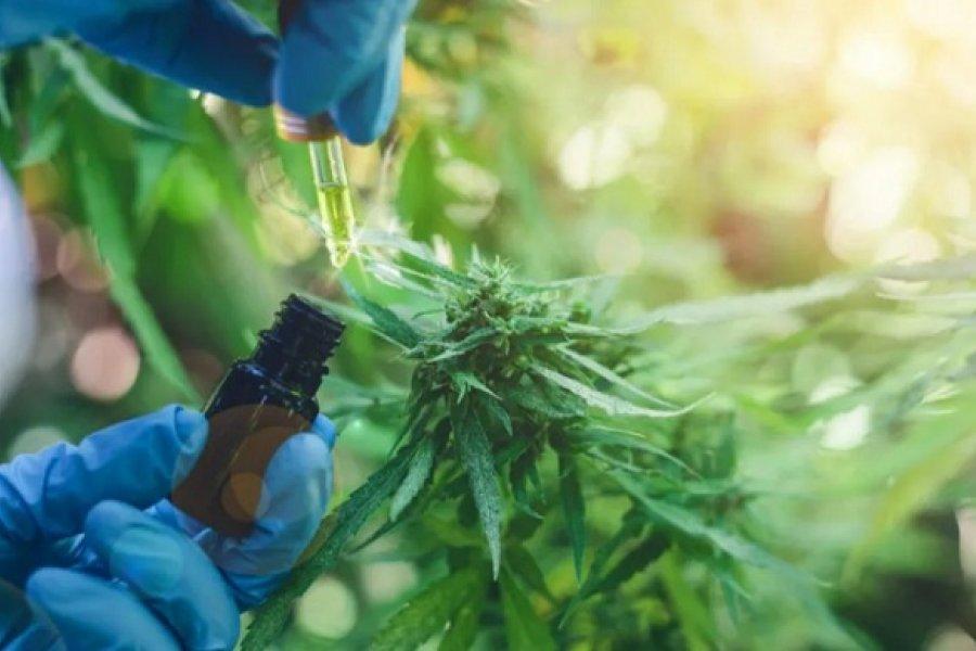 Legalizan el autocultivo de cannabis para uso medicinal y la venta de aceite en farmacias