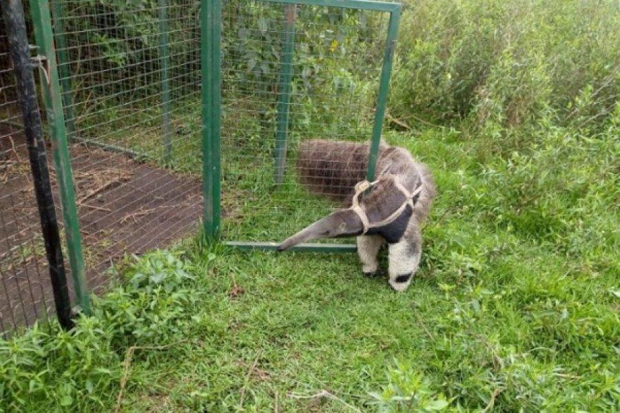 Un oso hormiguero que intentaban vender de forma ilegal fue recuperado y enviado a Corrientes