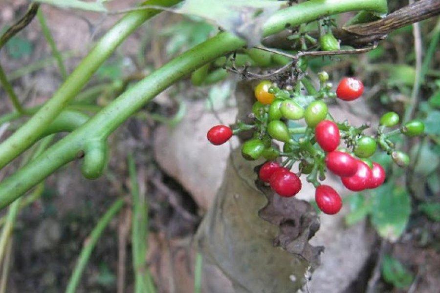 Estudian el efecto benéfico para la salud de algunas plantas de la región Iberá
