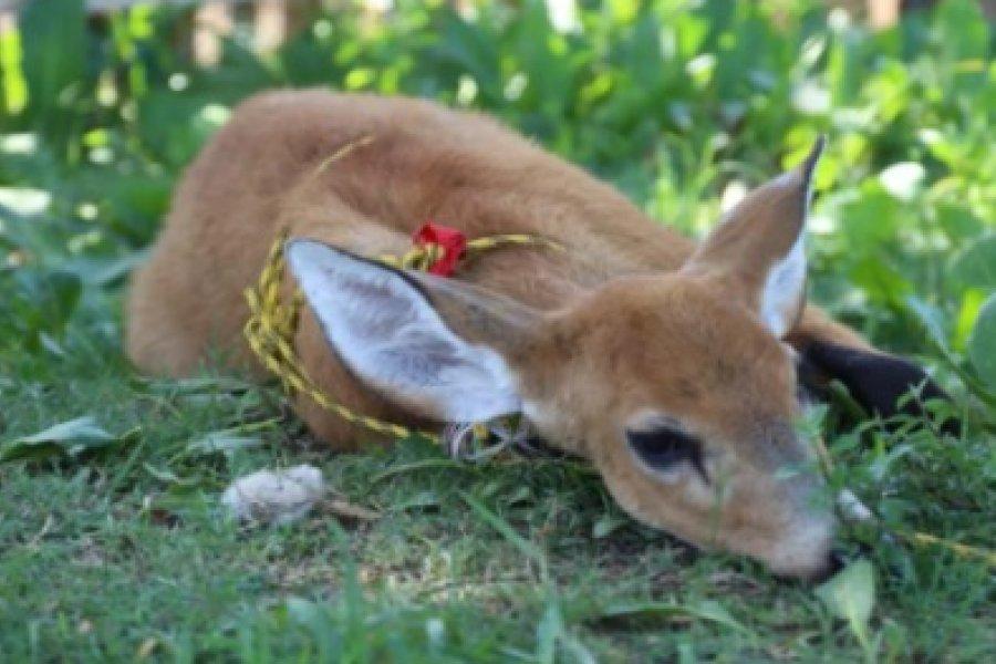Rescataron a un ciervo y carpinchos: Denunciarán a un intendente por maltrato animal