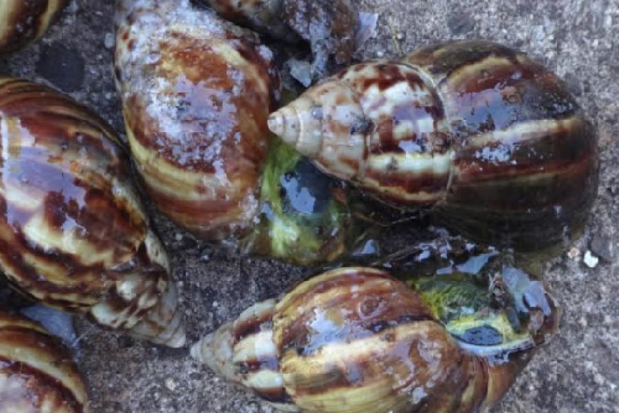 Misiones: Nueva aparición de  ejemplares de caracol africano