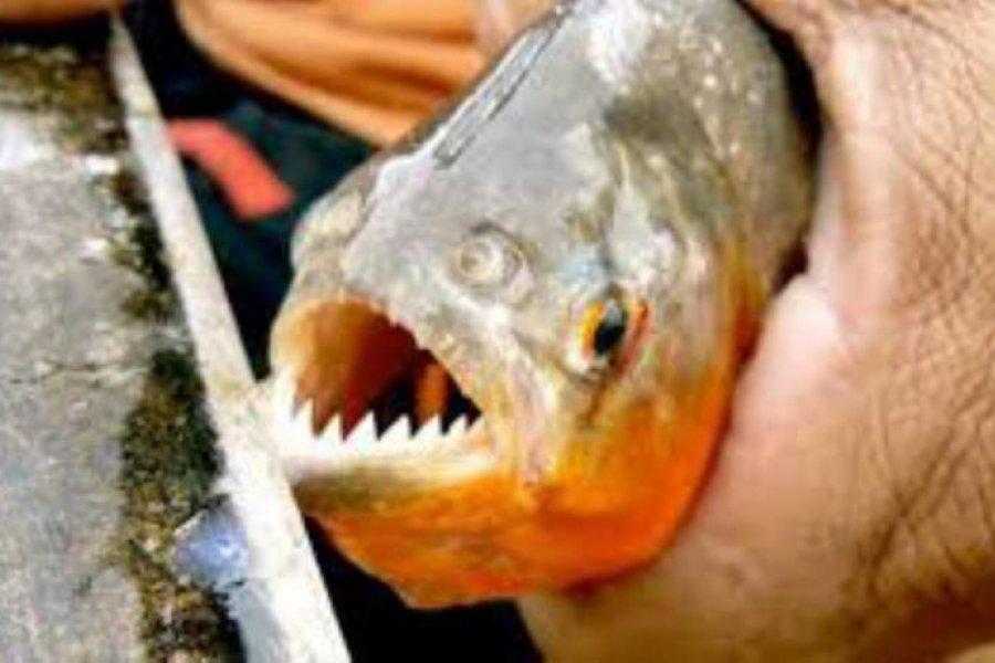 Río Paraná: volvieron los ataques de pirañas en las playas