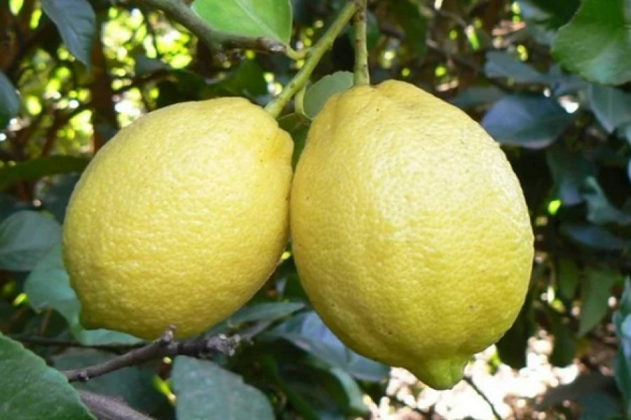 Fuerte caída en la producción de limón