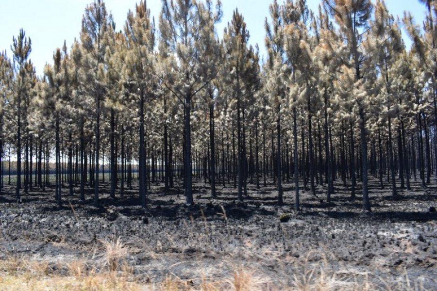 Estiman que 4.000 hectáreas de bosques implantados fueron afectadas por el fuego