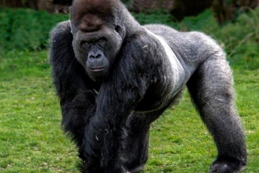 Dos gorilas del zoológico de San Diego tienen coronavirus