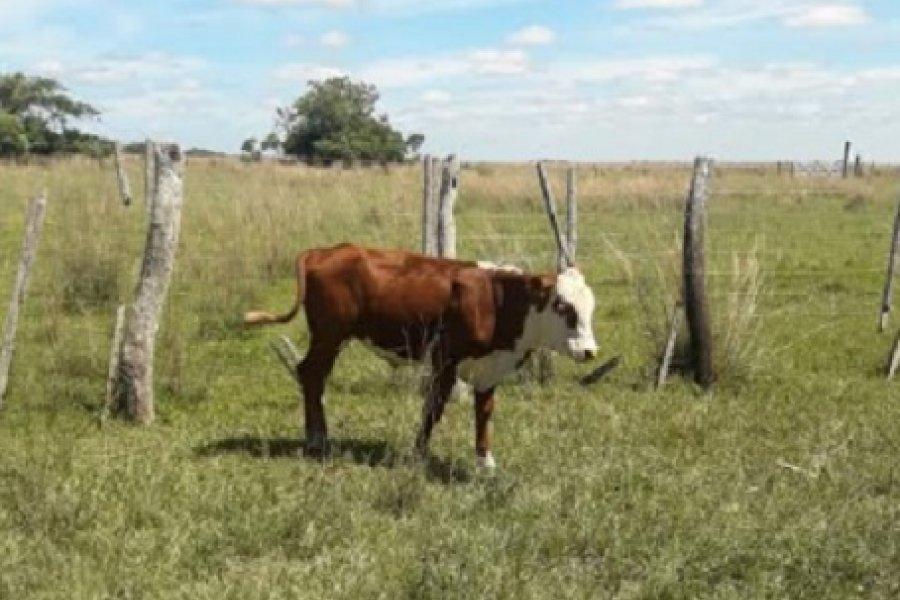 Recuperaron un animal bovino sustraído en Concepción