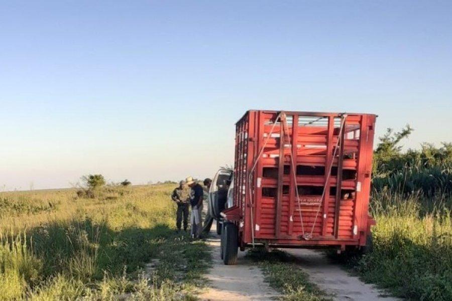 Incautaron animales vacunos transportados de forma irregular