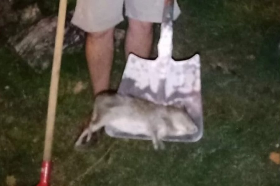 Capturan un enorme roedor cerca de una casa en un barrio de Corrientes