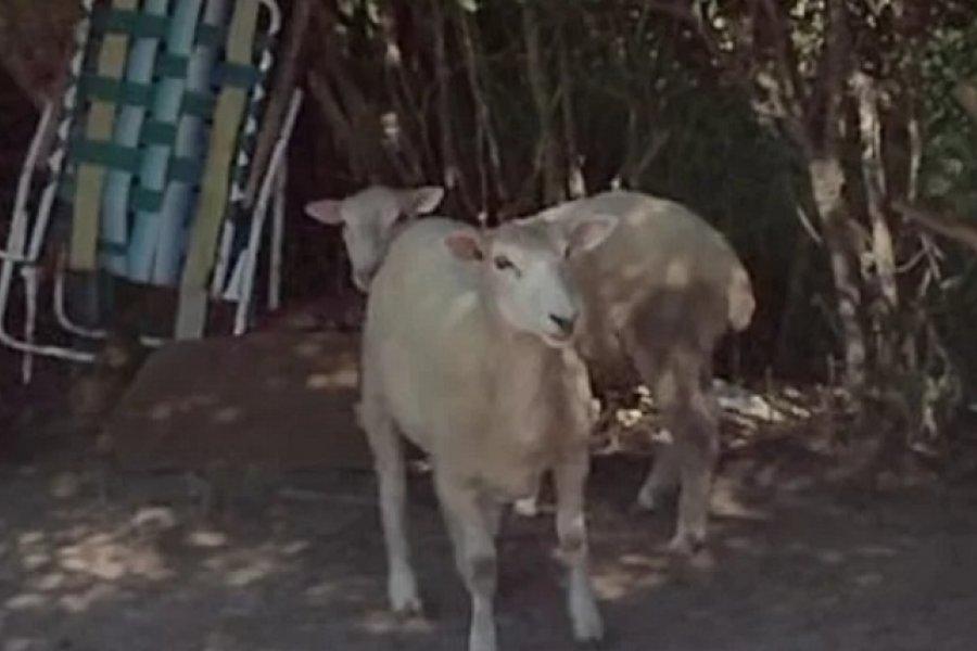 Un hombre fue detenido por el robo de ovejas y 25 kilos de carne faenada