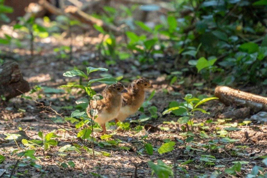 Nacieron tres pichones de muitú en el Parque Nacional Iberá, una especie extinguida hace 50 años