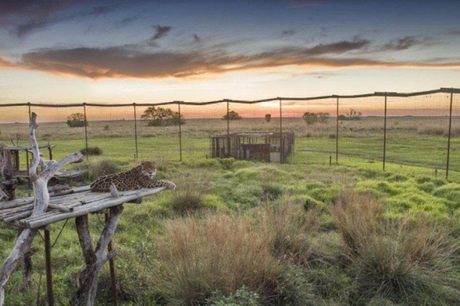 Utilizan cámaras térmicas para reintroducir yaguaretés en los Esteros del Iberá