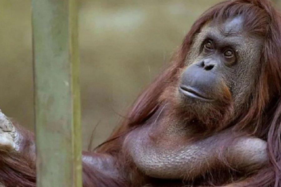 Vacunaron contra el coronavirus a nueve monos del zoo de San Diego