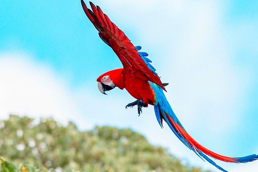 En Corrientes vuelan guacamayos rojos, una especie extinta hace más de 170 años
