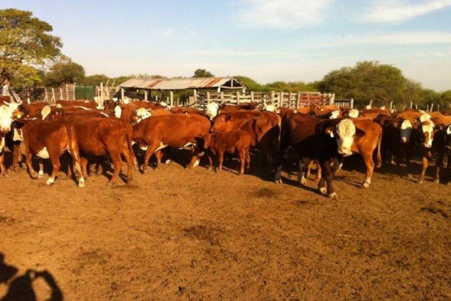 Investigan una estafa con 2.000 vacas en Corrientes