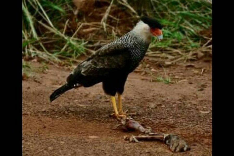 Corrientes: Apareció un carancho comiendo un brazo humano