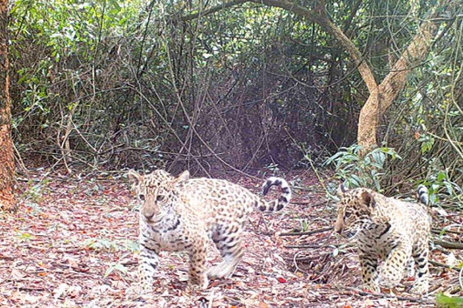 Liberaron a otros tres Yaguaretés en el Parque Nacional Iberá