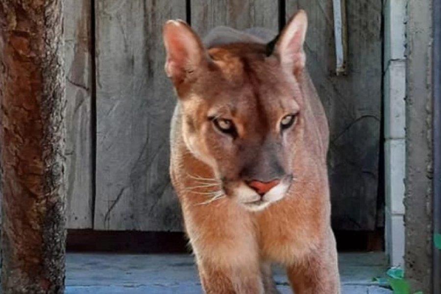 India, la puma longeva de Corrientes