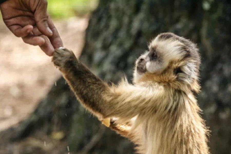 Buscan declarar a los monos carayá como monumento natural de la provincia