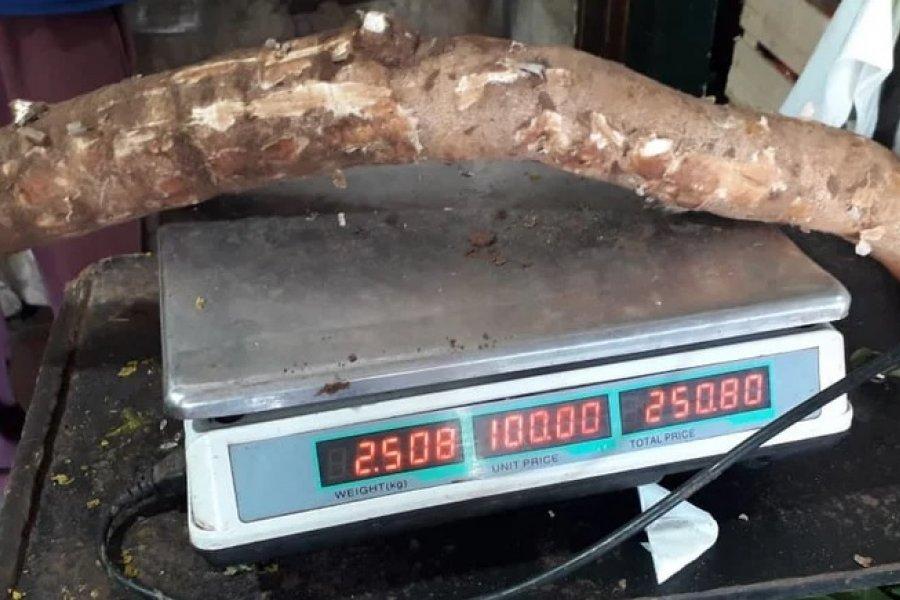 Cosecharon mandiocas de 25 kilos y más de un metro de largo