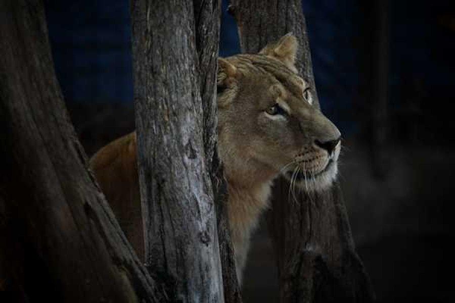 Rescataron un tigre de bengala y una leona tras un allanamiento en Santa Fe