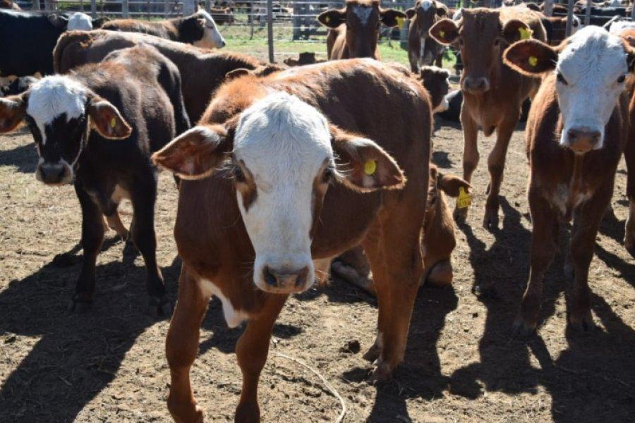 Los Remates Ganaderos volcaron más de 500 millones de pesos a pequeños productores
