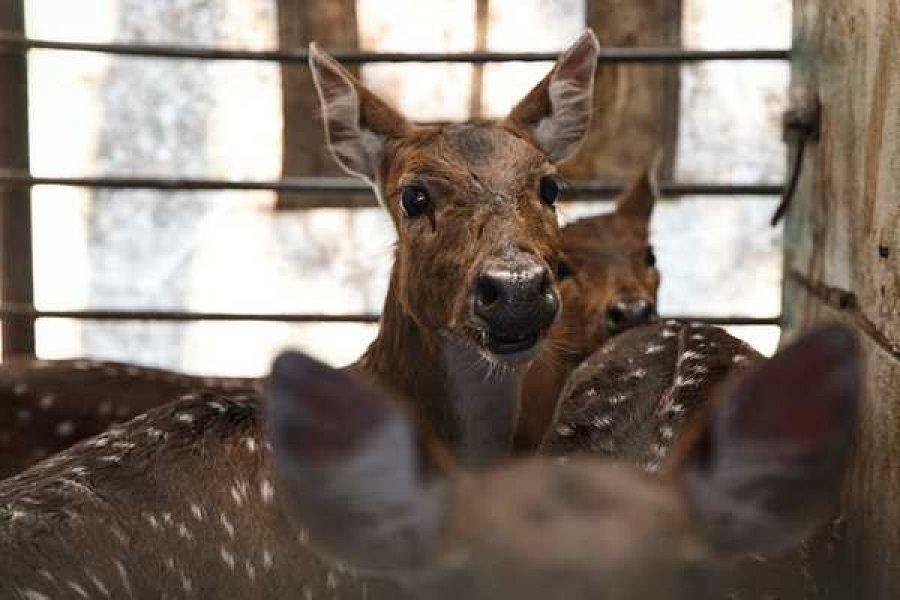 Rescataron a cinco ciervos axis que una familia tenía como mascotas