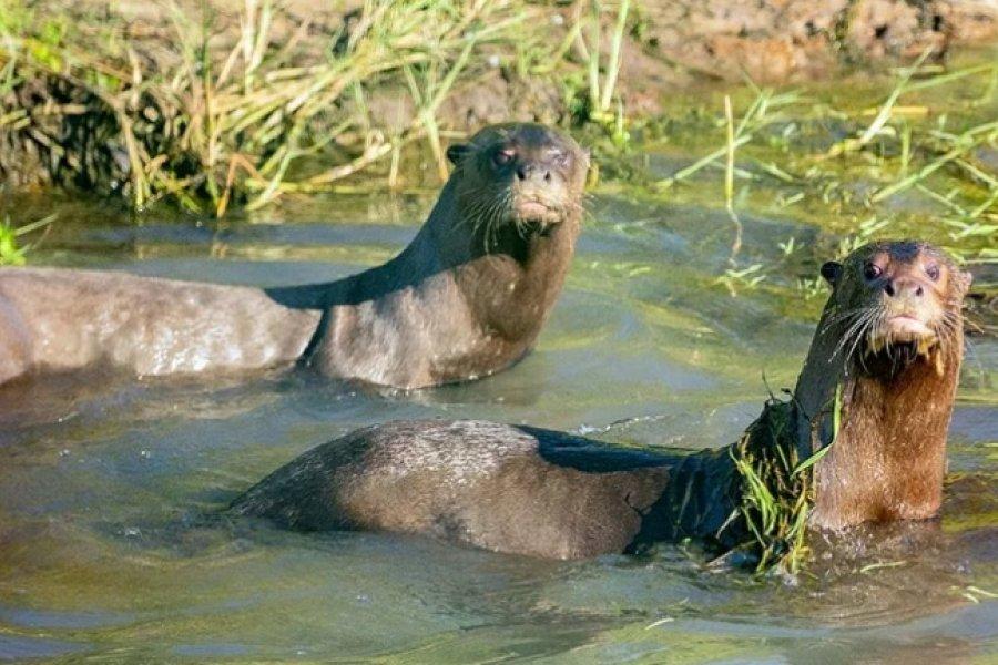 Ya tienen nombres los cachorros de nutria gigante de los Esteros del Iberá